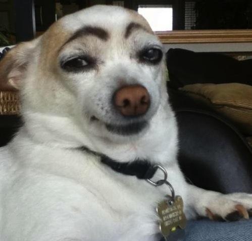 Hasil gambar untuk eye brow raise dog